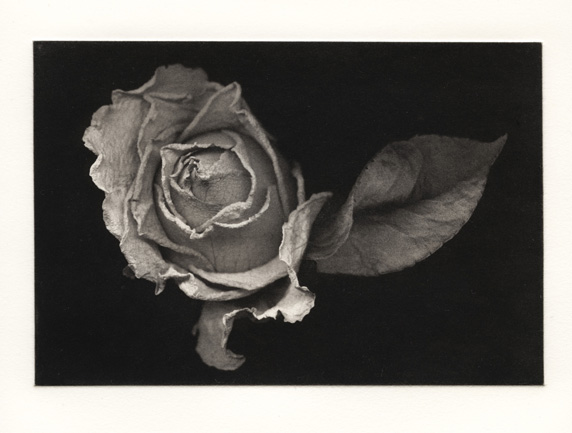 Suspended Rose - Polymer Photogravure Print